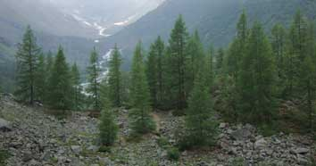 Bild Lärchenwald