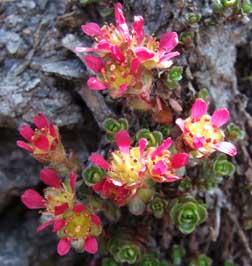 Bild Saxifraga biflora